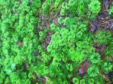 Ground Cedar Evergreen Ground Cover Fern 20ft starter plants ITEM#STX2