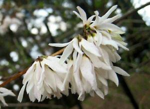 Schneeforsythie Abeliophyllum distichum Pflanze 5-10cm Weisse Forsythie Rarität