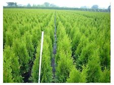Thuja occ.. Emerald Tree of life evergreen to 50cm containergrown, Bestseller