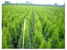 THUYA occ. émeraude ARBRE DE VIE Evergreen 30-40cm TAGGé cultiver pot,Bestseller