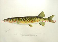 PIKE PERCH AMERICAN CHAIN PICKEREL ~ Antique Old 1902 DENTON Game Fish Art Print