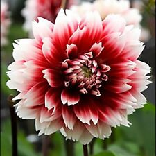 Fubuki Dahlia Red and White - Fringed Form 3 Bulbs  Blooms  Summer!