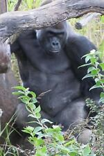 A Big Silverback Gorilla Leaning on a Tree in the Jungle Journal : 150 Page...