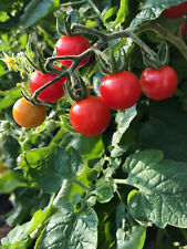 Matts Wild Cherry rote Wildtomate robust krankheitsresistent Freiland geeignet