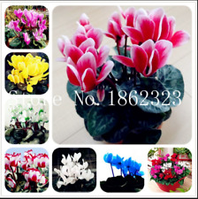 Cyclamen 100 Pcs Seeds Bonsai Flowers Indoor Potted Perennial Plants Garden New