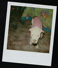 Vintage Polaroid Photograph Adorable Pitbull Puppy Dog Wearing a Coat/Jacket