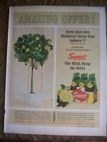 1964 Squirt Soda Carton Miniature Citrus Tree Ad
