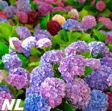 20Pcs Hydrangea Flower Seeds 9 Colors Beautiful Fragrant Plant Garden Decoration