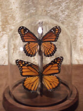 Monarch & Viceroy  Butterfly Dome