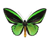 ONE REAL ORNITHOPTERA PRIAMUS POSEIDON MALE GREEN BLACK BIRDWING WINGS CLOSED