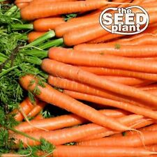 Imperator Carrot Seeds - 250 SEEDS-SAME DAY SHIPPING