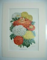 Antique c1880 Chromolithograph Botanical Floral Print in Mount - CHRYSANTHEMUMS