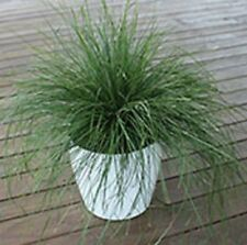 EVERGREEN BABY Lomandra labill native hardy compact plant in 120mm pot