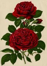 Descamps Sabouret Rose Monsieur Hoste Journal des roses Lithographie 1892