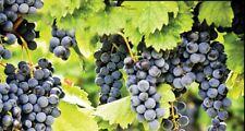 5ft inc. pot BLUE GRAPE VINE Vitis Pinot Noir - grafted 7litre