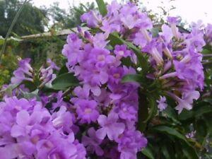GARLIC VINE Semi-Tropical Vine Plant Showy Purple Trumpet Flowers Spring Fall
