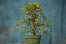 Terrific Tropical Mahogany Pre-Bonsai Tree Produces Red Petioles on New Growth!