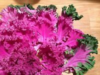 Grünkohl Pink - Kale - 50+ Samen - FEIN und WINTERHART!