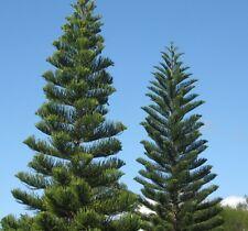 5 FRESH Norfolk Island Pine / Araucaria Heterophylla seeds