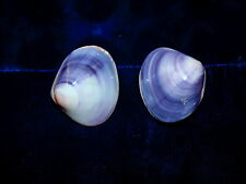 "TWO (2)  POLISHED PURPLE CLAM SEA SHELLS 2 to 3""  BEACH DECOR CRAFT TROPICAL"