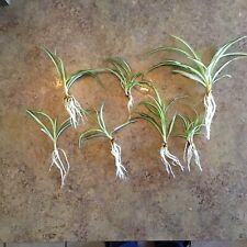4 Spider Plant Starts Live Healthy Bare Rooted Plants Comosum Easy To Grow
