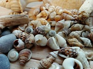 100 MIXED SEASHELLS Tiny Mini Sea Shells Craft Wedding Beach Confetti 7-15 mm