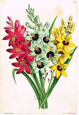 "Andrew's ""The Floral Magazine - ""PLATE 161"" - Hand Colored Lithograph - 1867"