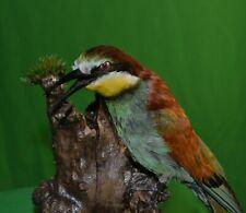 Taxidermy European bee-eater Stuffed Colored Bird