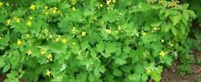 3 Fresh Dug Live Greater Celandine Medicinal Herb Ally of Bloodroot, Shade Lover