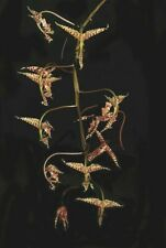 Gongora tridentata species Orchid Plant