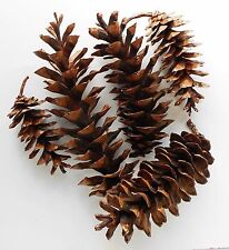 10 Large New Hampshire White Pine Cones