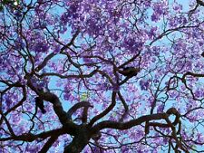 Jacaranda Potted 100PCS Tree Home Garden Purple  Budding Mimosifolia Shrub