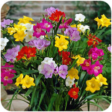Freesia Bulbs Mixed Single Flowering Scented x 50 by Growtanical®
