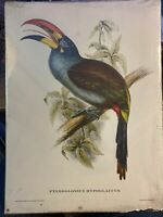 Vintage J & E Gould Art Print By C. Hullmandel Pteroglossus Hypoglaucus Bird