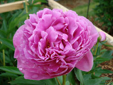 Dr Alexander Fleming Peony Pink 3-5 Eye Established Perennial 1 Gallon Trade Pot