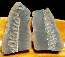 """Natural 2.4"""" Fern Fossil Frond Pair in Shale Rock 87.3g. from Missouri USA!"""