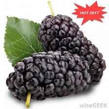 100PCS SALE OFF Mulberry Seeds Sweet Black Berry Giant Plants Miracle Fruit Seed