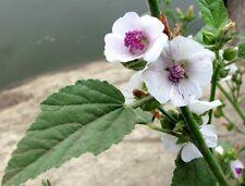 Seeds Marsh Mallow (Althaea officinalis) Medicinal Herbs Organic Russian Ukraine