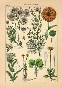 1885 EUROPEAN MICHAELMAS DAISY SCOTCH MARIGOLD Antique Lithograph Print Willkomm