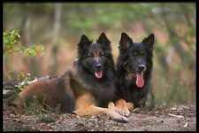 415083 GermanBelgian Shepherds A4 Photo Print