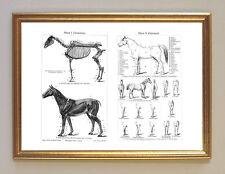 Pferd Anatomie Exterieur & Gangarten Faksimile 1 im Rahmen nach Stahlstich 24a