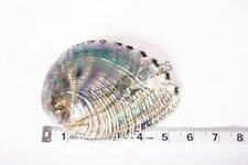 "Green Abalone Sea Shell BOTH Side Polished Beach Craft 5"" - 6"" (1 pc) #JC-66"