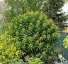 Raro 6 Semillas de Euphorbia Mellifere (Euphorbia Mellifera) G710 Honey Spurge