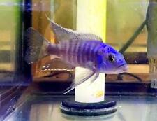 Electric Blue Cichlid - Malawi African Cichlid - Large