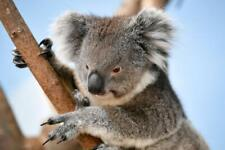 Koala Glossy Poster Picture Photo Print bear cute marsupial joey australia 5453
