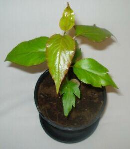 Chinese Ya white pear Pyrus bretschneideri fruit tree seedling edible fruit