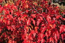 Acer ginnala / Amur Maple Tree grown peat free, beautiful autumn colour 4ft+