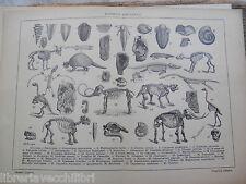 antica stampa da incorniciare FOSSILI ANIMALI GALLIENI ERE GEOLOGICHE SCHELETRI