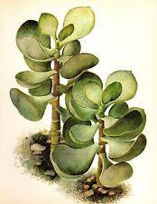 Vintage Cactus Print Botanical Print Silver Dollar Succulent Art Print #2487
