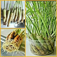 5 Lemongrass Stalks Plugs Easy to Plant, Cymbopogon, Mosquito Repellent, Herbal